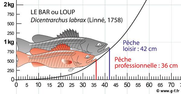 Taille légale de capture pour la pêche de loisir et pour la pêche professionnelle